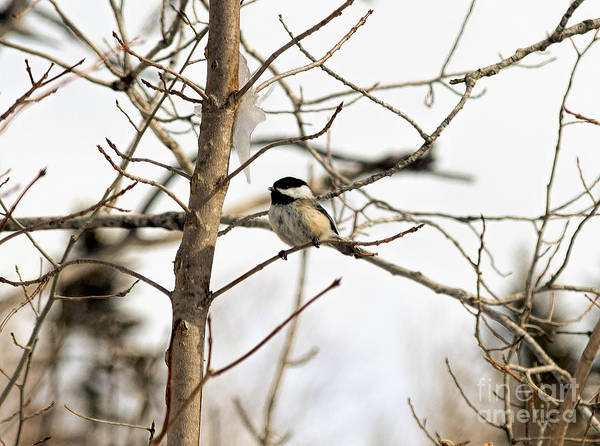 Black-capped Chickadee Poster featuring the photograph Chickadee by William Tasker