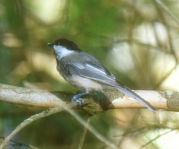 Black Capped Chickadee Poster featuring the photograph Chickadeedeedee by Sally Sperry