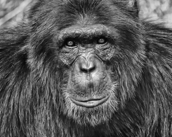 Chimpanzee Poster featuring the photograph Chimpanzee Portrait 1 by Richard Matthews