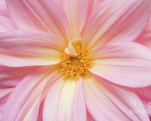 Nature Poster featuring the photograph Chinese Chrysanthemum Flower by Julia Hiebaum