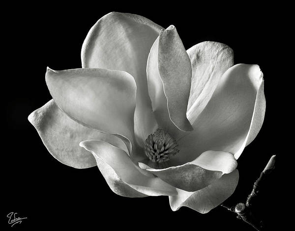 Flower Poster featuring the photograph Chinese Magnolia by Endre Balogh