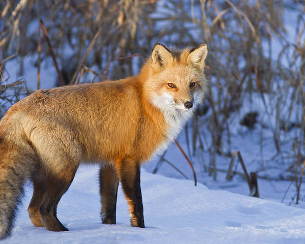 Animal Poster featuring the photograph Christmas Fox by Mircea Costina Photography