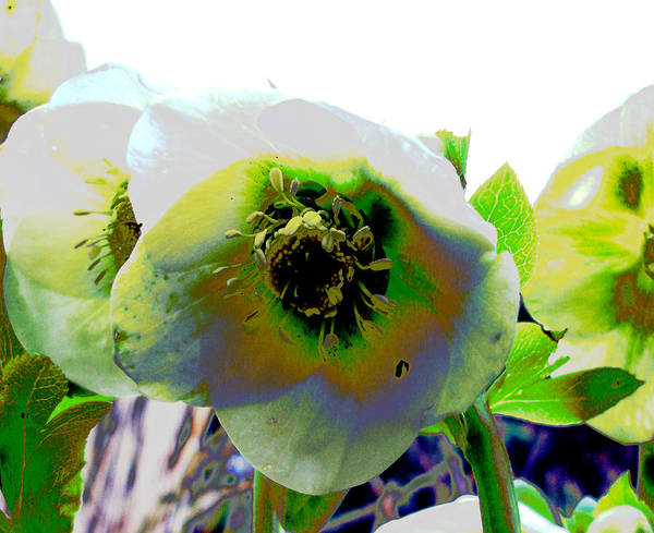 Flora Poster featuring the photograph Christmas Rose by Susan Baker
