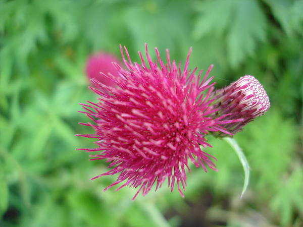 Thistle Poster featuring the photograph Cirsium Burgandy Thistle by Susan Baker