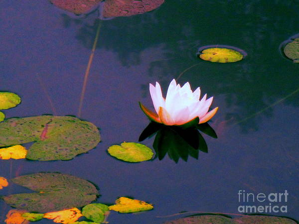 Water Poster featuring the photograph Clear Reflections Lotus by Sybil Staples