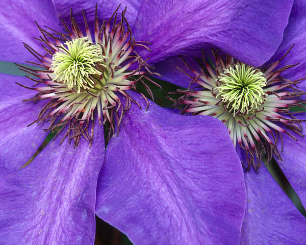 Flowers Poster featuring the photograph Clematis Detail by Sandra Bronstein