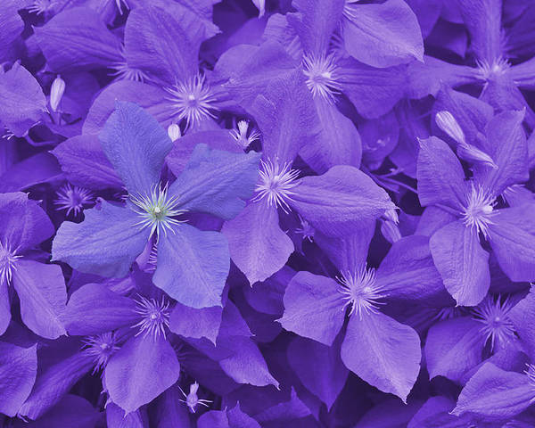 Purple Poster featuring the photograph Clematis by JAMART Photography