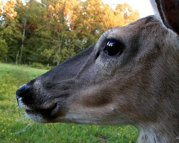Deer Poster featuring the photograph Close Up by Barbara Stephens