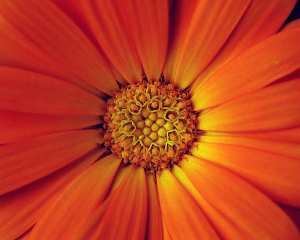 Plant Poster featuring the photograph Close Up Of An Orange Daisy by PIXELS XPOSED Ralph A Ledergerber Photography