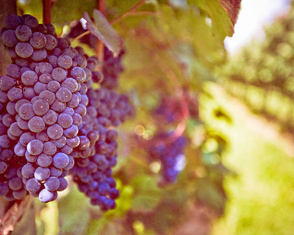 Horizontal Poster featuring the photograph Close Up Of Grapes by Boston Thek Imagery