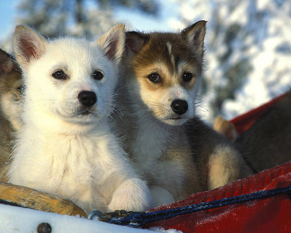 Outdoor Poster featuring the photograph Close Up Of Siberian Husky Puppies by Nick Norman