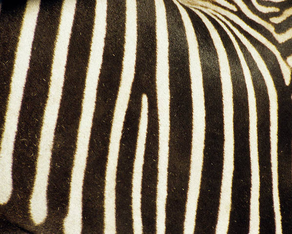 Kruger National Park Poster featuring the photograph Close View Of A Zebras Stripes by Stacy Gold