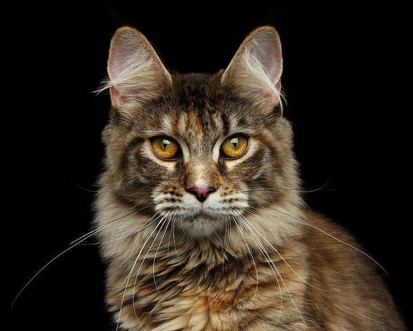 Cat Poster featuring the photograph Closeup Maine Coon Cat Portrait Isolated on Black Background by Sergey Taran