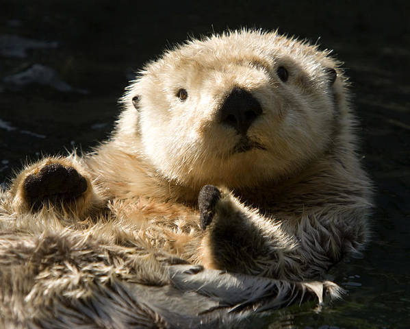 Cute Photographs Poster featuring the photograph Closeup Of A Captive Sea Otter Making by Tim Laman