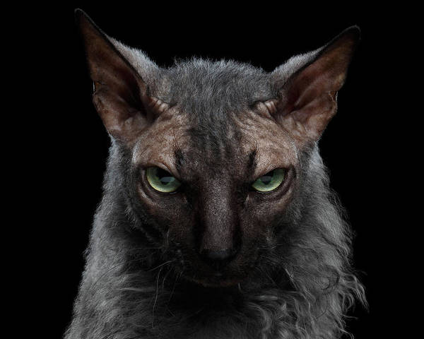 Werewolf Poster featuring the photograph Closeup Werewolf Sphynx Cat Angry  Looking In Camera Isolated Black by 7a8963334