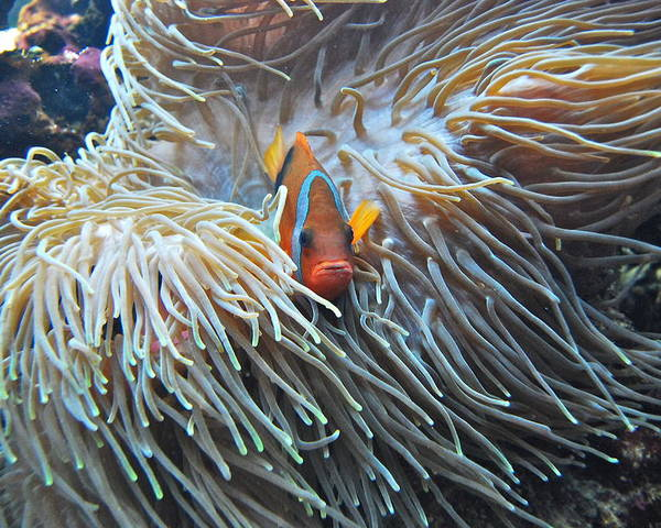 Fish Poster featuring the photograph Clown Fish by Michael Peychich
