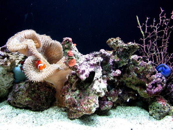 Fish Poster featuring the photograph Clown Fish Reef by Jess Thorsen