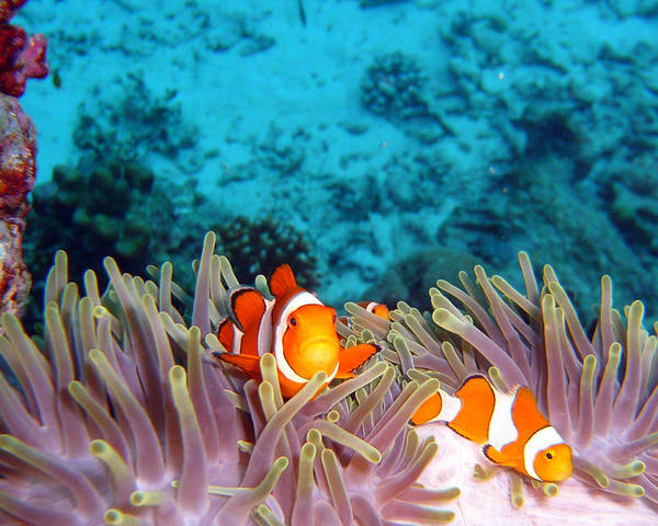 Horizontal Poster featuring the photograph Clown Fishes by Takau99
