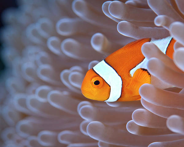 Horizontal Poster featuring the photograph Clownfish In White Anemone by Alastair Pollock Photography