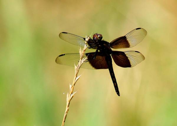 Dragonfly Poster featuring the photograph Coal Black Dragonfly by David Dunham