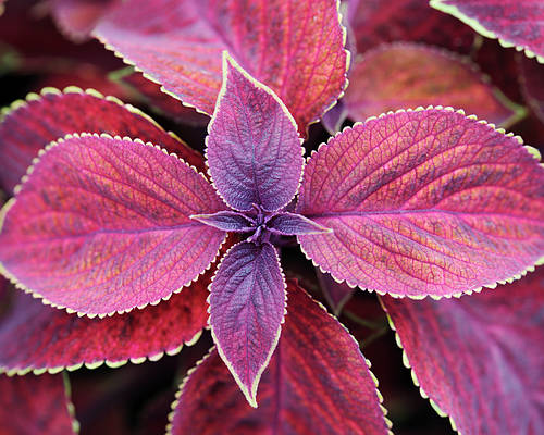 Solenostemon Poster featuring the photograph Coleus Red Rosie by Neil Overy