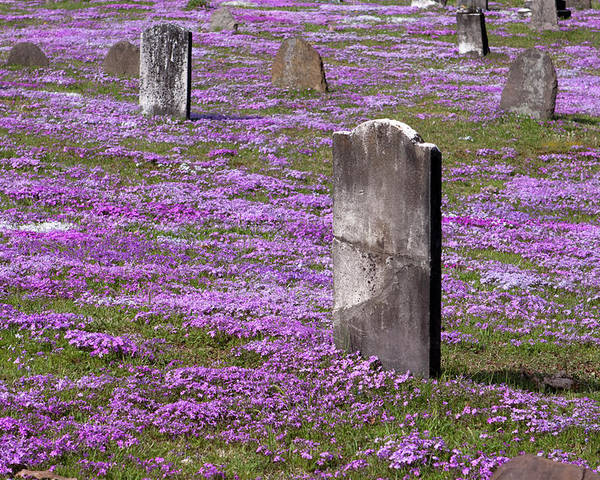 Tombstone Poster featuring the photograph Colonial Tombstones Amidst Graveyard Phlox by John Stephens