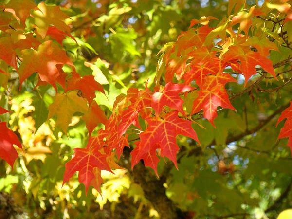 Autumn Poster featuring the photograph Colorful Fall Leaves Red Nature Landscape Baslee Troutman by Baslee Troutman