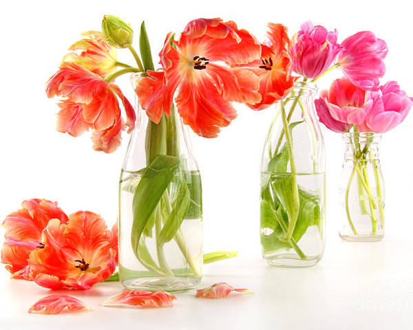 Background Poster featuring the photograph Colorful Spring Tulips In Old Milk Bottles by Sandra Cunningham