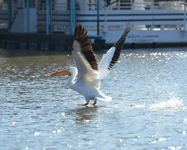 White Pelican Poster featuring the photograph Coming In For A Landing by Tammy Mutka