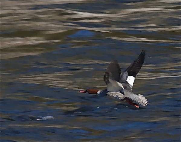 Ducks Poster featuring the photograph Common Merganser Duck by Peter Gray