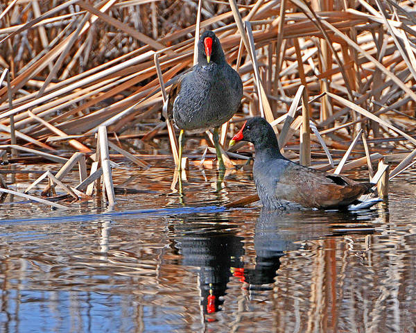 Waterfowl Poster featuring the photograph Common Moorhen by Alan Lenk