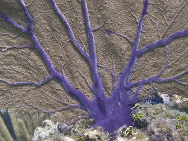 Animals; Atlantic Ocean; Common Sea Fan; Coral; Florida; Grecian Rocks; Key Largo; Scuba Diving; Und Poster featuring the photograph Common Sea Fan On Grecian Rocks In Key Largo Fl by Bob Hahn