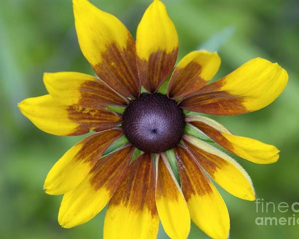 New England Poster featuring the photograph Coneflower - New England Wild Flower by Erin Paul Donovan