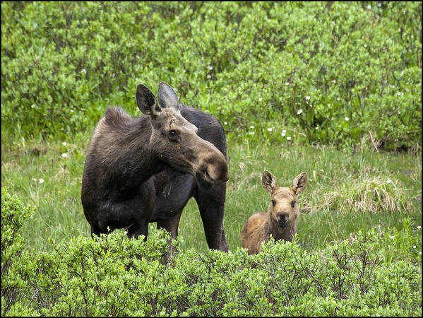 Cow Moose Poster featuring the photograph Consoling Mom by Theo Bauder