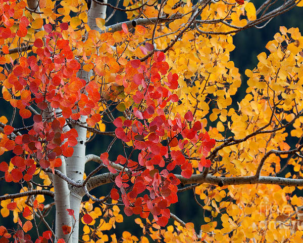 Red And Gold Aspen Print. Red Aspen Poster featuring the photograph Contrasting Aspen by Jim Garrison