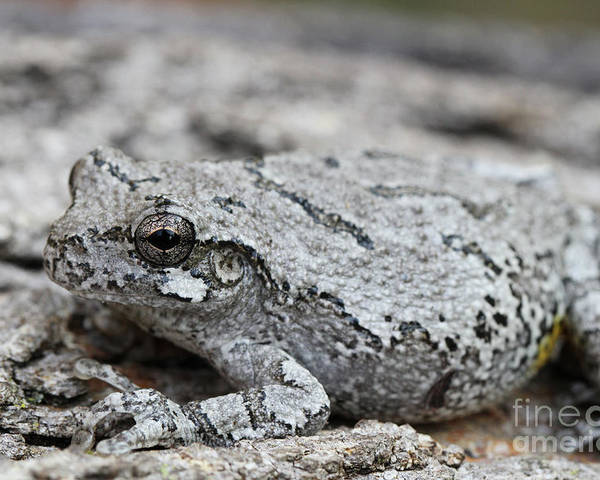 Frog Poster featuring the photograph Cope's Gray Tree Frog #5 by Judy Whitton