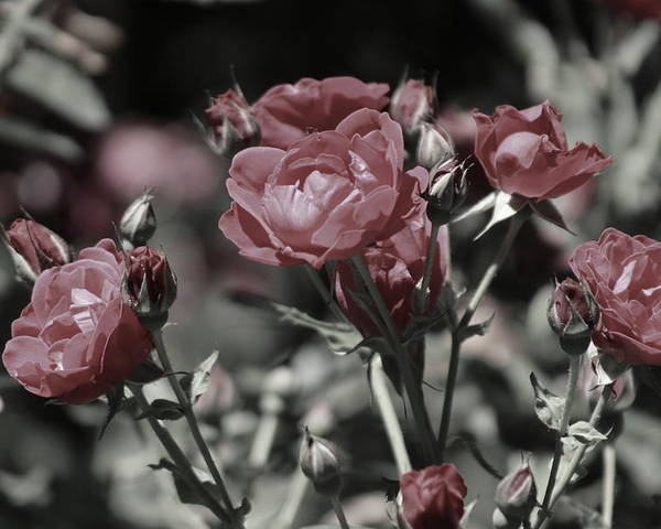 Copper Pink Rose Poster featuring the photograph Copper Rouge Rose in Almost Black and White by Colleen Cornelius
