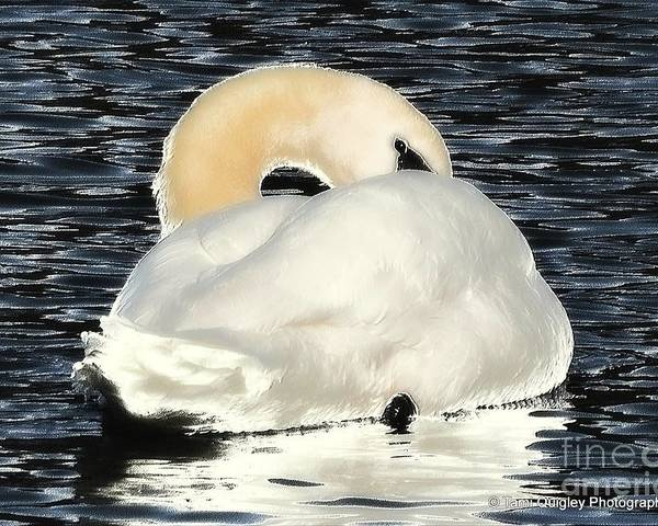 Swan Poster featuring the photograph Coquette by Tami Quigley