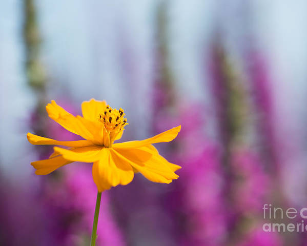 Cosmos Sulphureus Polidor Poster featuring the photograph Cosmos Polidor Flower by Tim Gainey