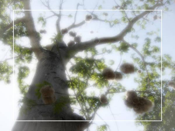 Kapoc Poster featuring the photograph Cotton Ball Tree by Douglas Barnard