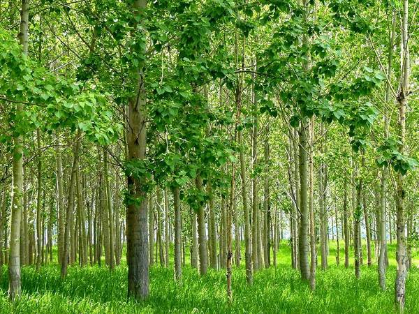Cottonwood Trees Poster featuring the photograph Cottonwood Grove by Will Borden