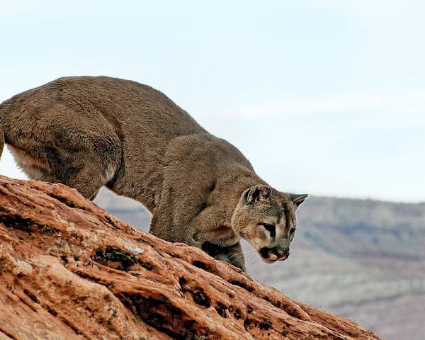 Anger Poster featuring the photograph Cougar Prowling by Melody Watson