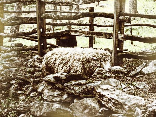Sheep Poster featuring the photograph Counting Sheep by JAMART Photography