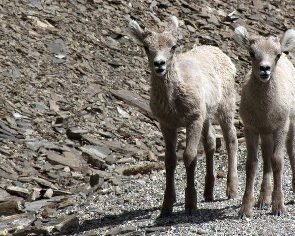 Baby Poster featuring the photograph Couple Of Cuties- Baby Bighorn by Tiffany Vest