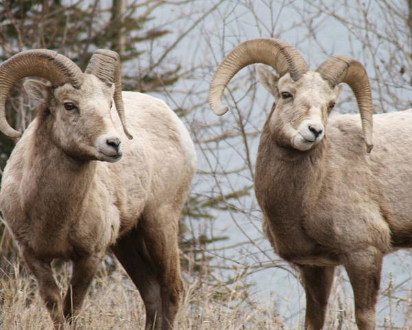 Bighorn Sheep Poster featuring the photograph Couple Of Rams- Banff National Park by Tiffany Vest