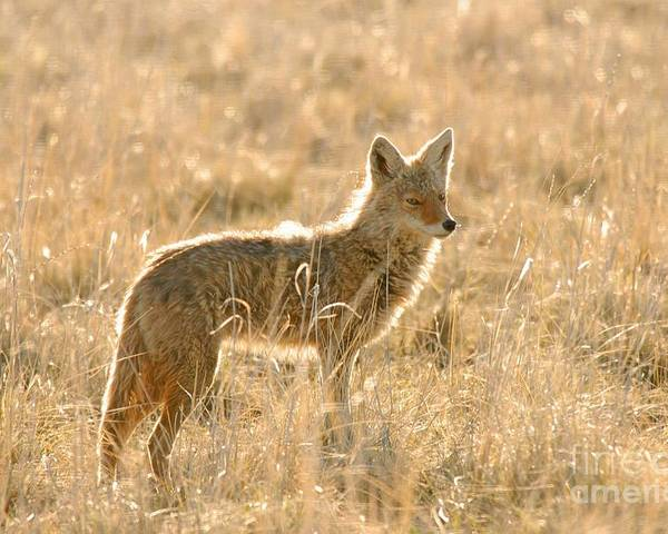 Coyote Poster featuring the photograph Coyote At Dawn by Dennis Hammer