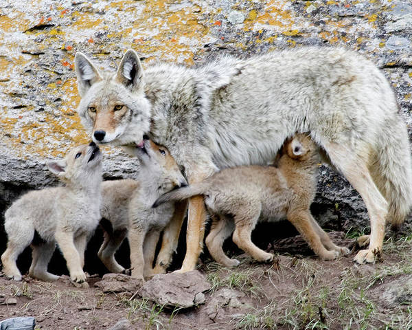 Coyote Poster featuring the photograph Coyotes by Reva Dow