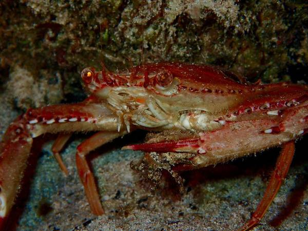 Macro Of A Crab Out On A Night Dive Carrying A Snack Poster featuring the photograph Crab With A Snack by Nina Banks