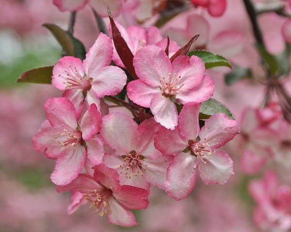 Flower Blossom Apple Crabapple Spring Garden Tree Orchard Pink Nature Putney Vermont Poster featuring the photograph Crabapple Blossoms by Gerald Hiam