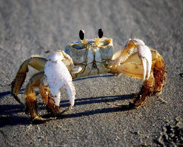 Crab Poster featuring the photograph Crabbie by Joy Hiott
